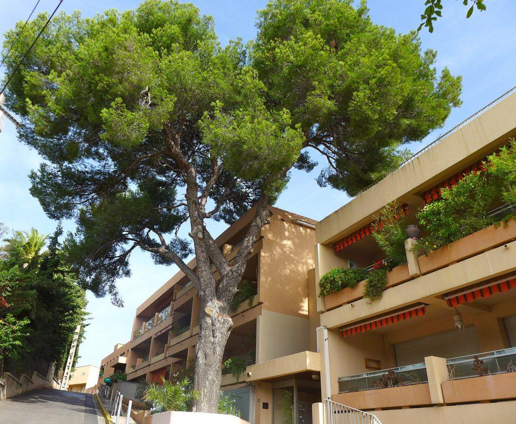 Le pin du val Gardenia