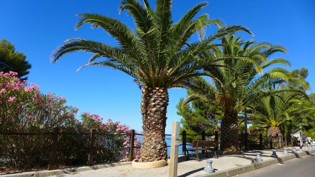 Palmier désormais abattu, victime du charençon, à Eden-roc